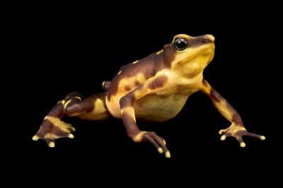 Picture of a critically endangered, female Pirre harlequin frog (Atelopus glyphus,) at the Panama Amphibian Rescue and Conservation Project.