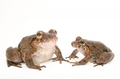 A robber frog species (in the craugastor punctariolus series) at the Panama Amphibian Rescue and Conservation Project. This is a project designed to establish captive breeding populations of frogs at risk of extinction from the frog-killing Chrytrid fungus. Shown are a female (larger) and a male. This species is thought to be down to just two males and single female. Despite very intensive searches, the last wild individuals were seen in the wild in 2010.