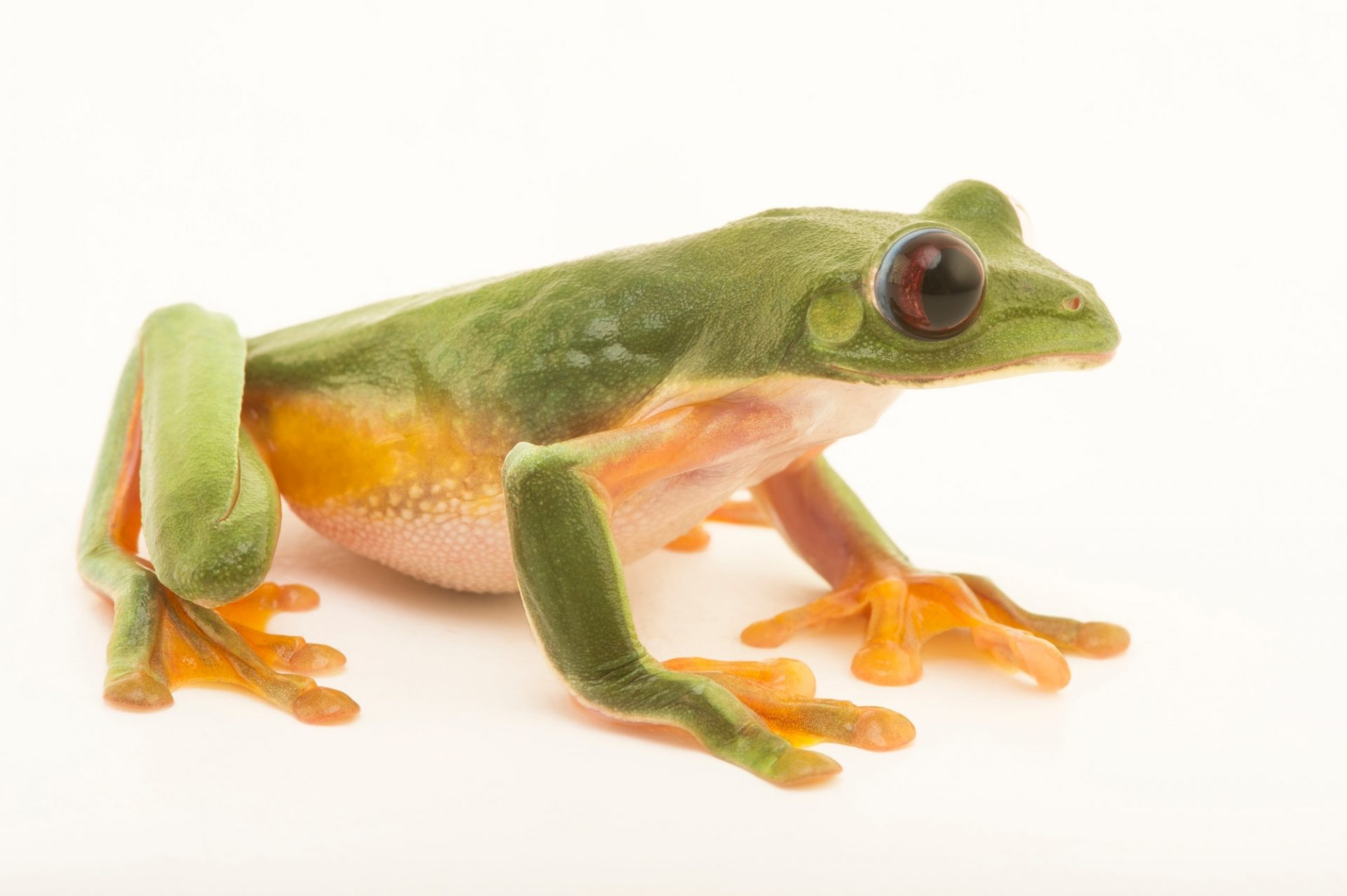 Picture of a gliding tree frog (Agalychnis spurrelli) from the Atlanta Botanical Garden.