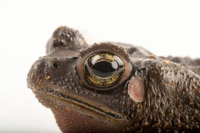 Photo: Asiatic black-spined toad (Bufo melanostictus) at the Miller Park Zoo. These toads are common to the Indian subcontinent, where they wait under street lights to catch insects.