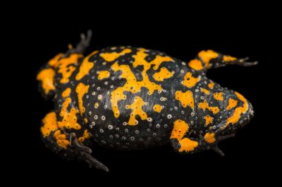 Photo: Yellow bellied toad (Bombina variegata) at the Plzen Zoo in the Czech Republic.