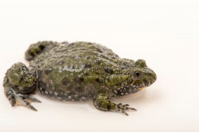 Photo: Yellow bellied toad, Bombina variegata, at the Plzen Zoo in the Czech Republic.