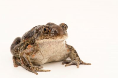 Photo: Common spadefoot toad (Pelobates fuscus) at the Plzen Zoo in the Czech Republic.