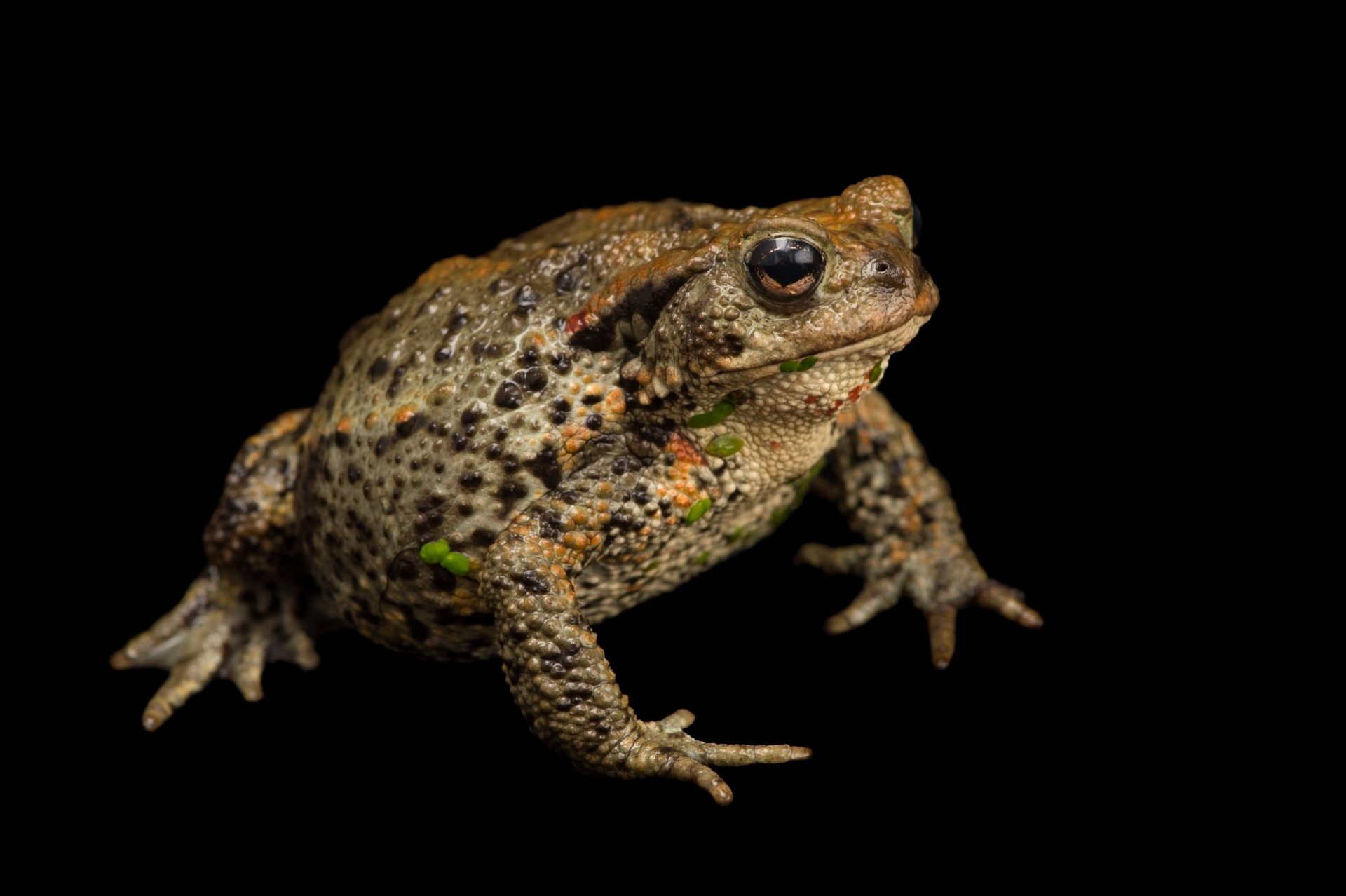 Photo: European toad (Bufo bufo) at the Plzen Zoo in the Czech Republic.