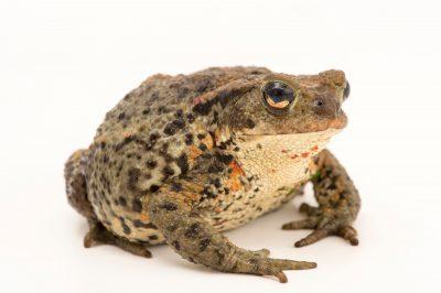 Photo: European toad (Bufo bufo) at the Plzen Zoo in the Czech Republic.