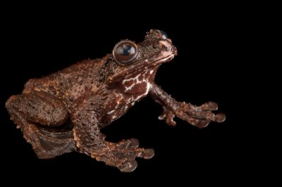 Photo: A Cope's brown treefrog (Ecnomiohyla miliaria) at El Valle Amphibian Conservation Center.