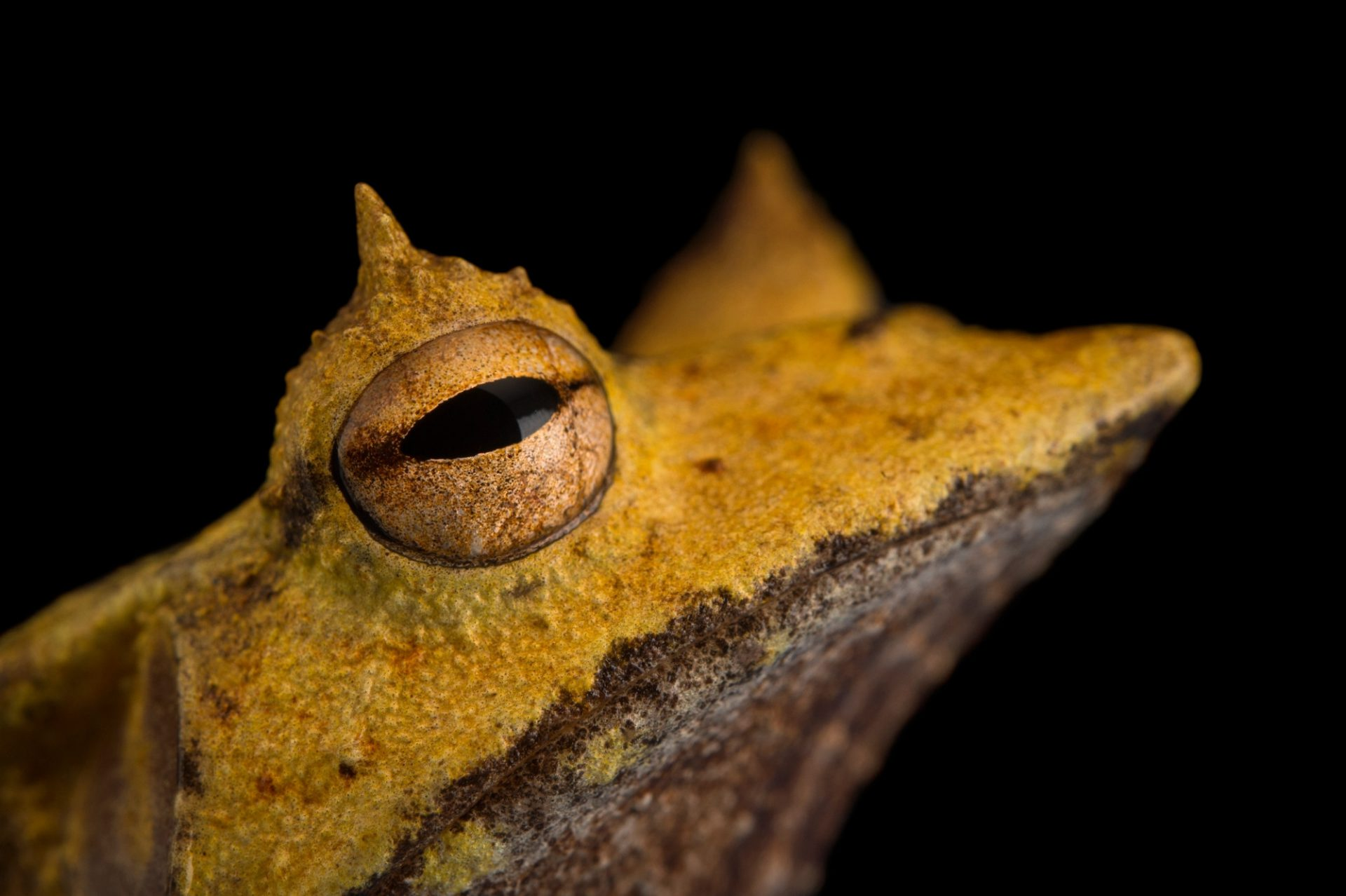 Photo: Banded horned treefrog (Hemiphractus fasciatus) at El Valle Amphibian Center.
