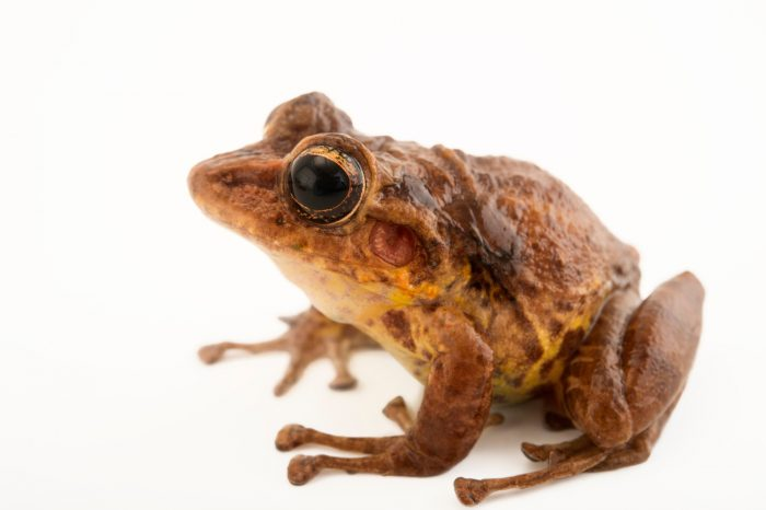 Picture of a critically endangered Tabasara robber frog (Craugastor tabasarae) at El Valle Conservation Center.