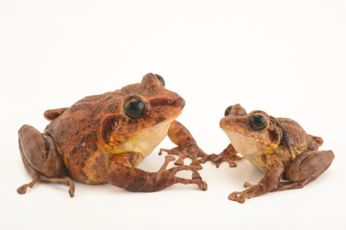 Picture of two critically endangered Tabasara robber frogs (Craugastor tabasarae) at El Valle Conservation Center.
