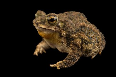 Photo: Granular toad (Rhinella granulosa) at the El Valle Amphibian Conservation Center (EVACC).