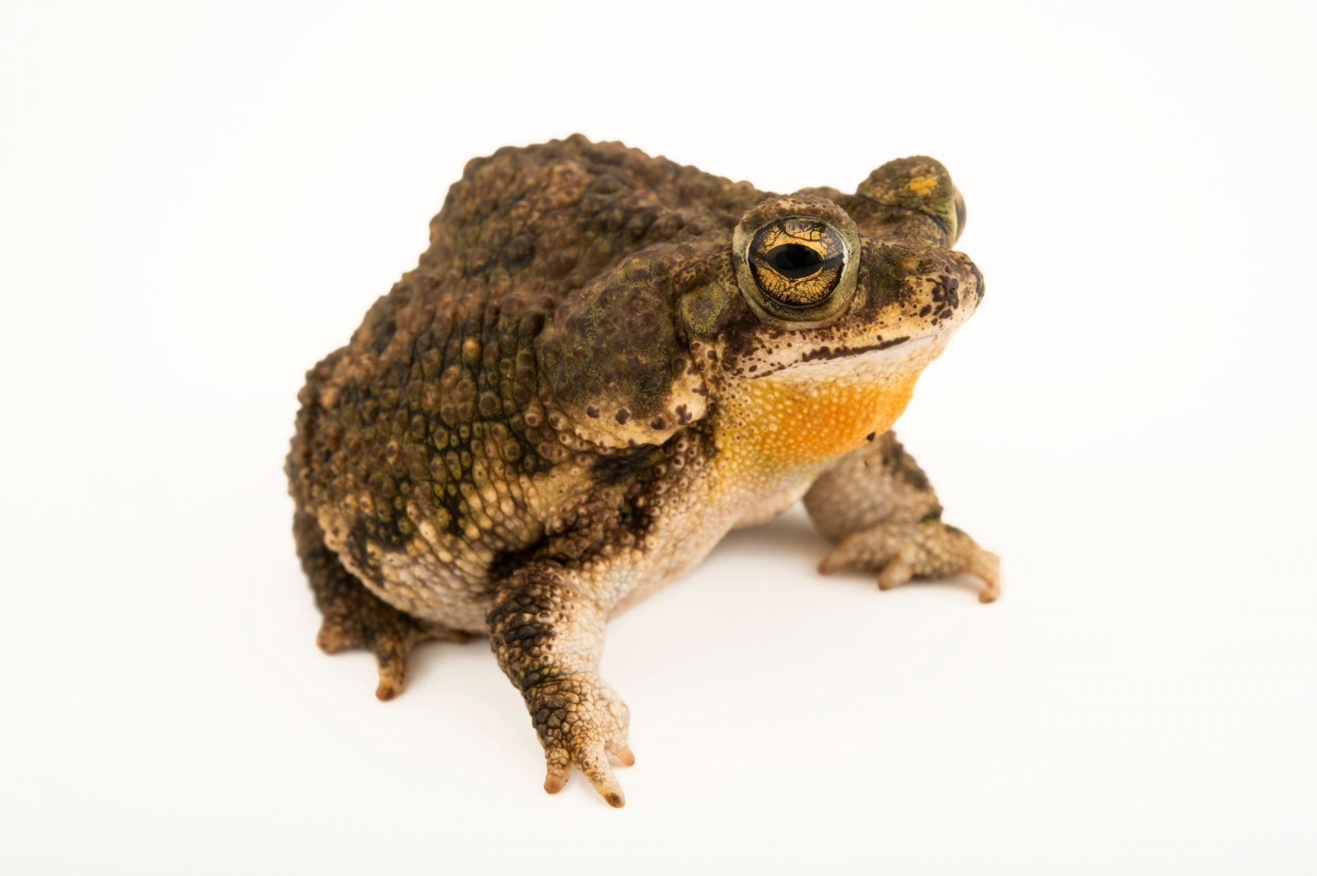 Photo: Granular toad (Rhinella granulosa) at the El Valle Amphibian Conservation Center (EVACC).