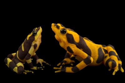 A critically endangered Costa Rican variable harlequin toad (Atelopus varius) at the El Valle Amphibian Conservation Center (EVACC). This species is highly endangered and is found very little in the wild. The female is yellow and much larger than the male.