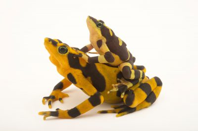 Two Costa Rican variable harlequin toads (Atelopus varius) in amplexus at the El Valle Amphibian Conservation Center (EVACC). This species is critically endangered and is found very little in the wild. The female is yellow and much larger than the male.
