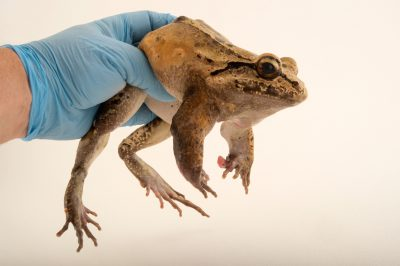 Photo: Savage's thin-toed frog (Leptodactylus savagei) at the El Valle Amphibian Conservation Center (EVACC).