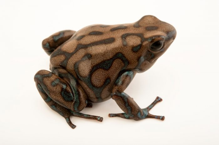 A Panamanian color morph of (Dendrobates auratus) at the El Valle Amphibian Conservation Center (EVACC).