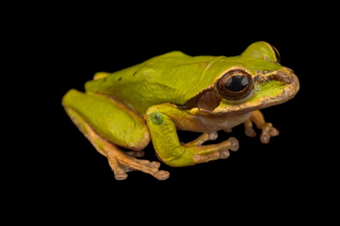 Photo: New Granada cross-banded tree frog or masked tree frog (Smilisca phaeota) at the El Valle Amphibian Conservation Center (EVACC).