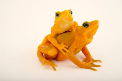 Two critically endangered (IUCN) and federally endangered Panamanian golden frogs (Atelopus zeteki) at the El Valle Amphibian Conservation Center (EVACC). The female is the larger frog.