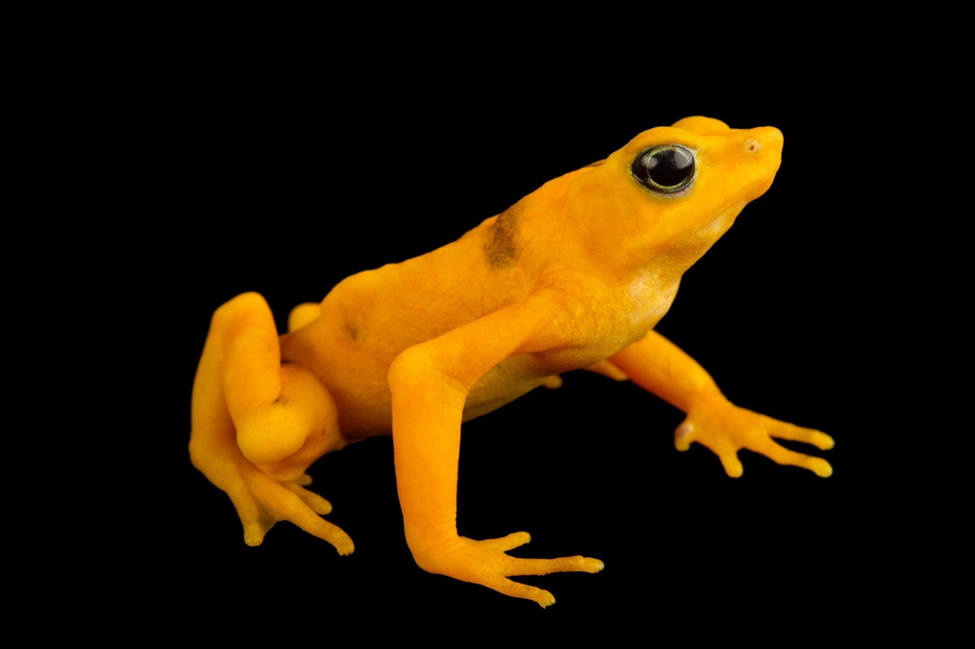 Critically endangered (IUCN) and federally endangered Panamanian golden frog (Atelopus zeteki) at the El Valle Amphibian Conservation Center (EVACC).