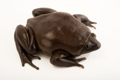 Picture of a black narrow-mouthed frog (Ctenophryne aterrima) at the El Valle Amphibian Conservation Center (EVACC).