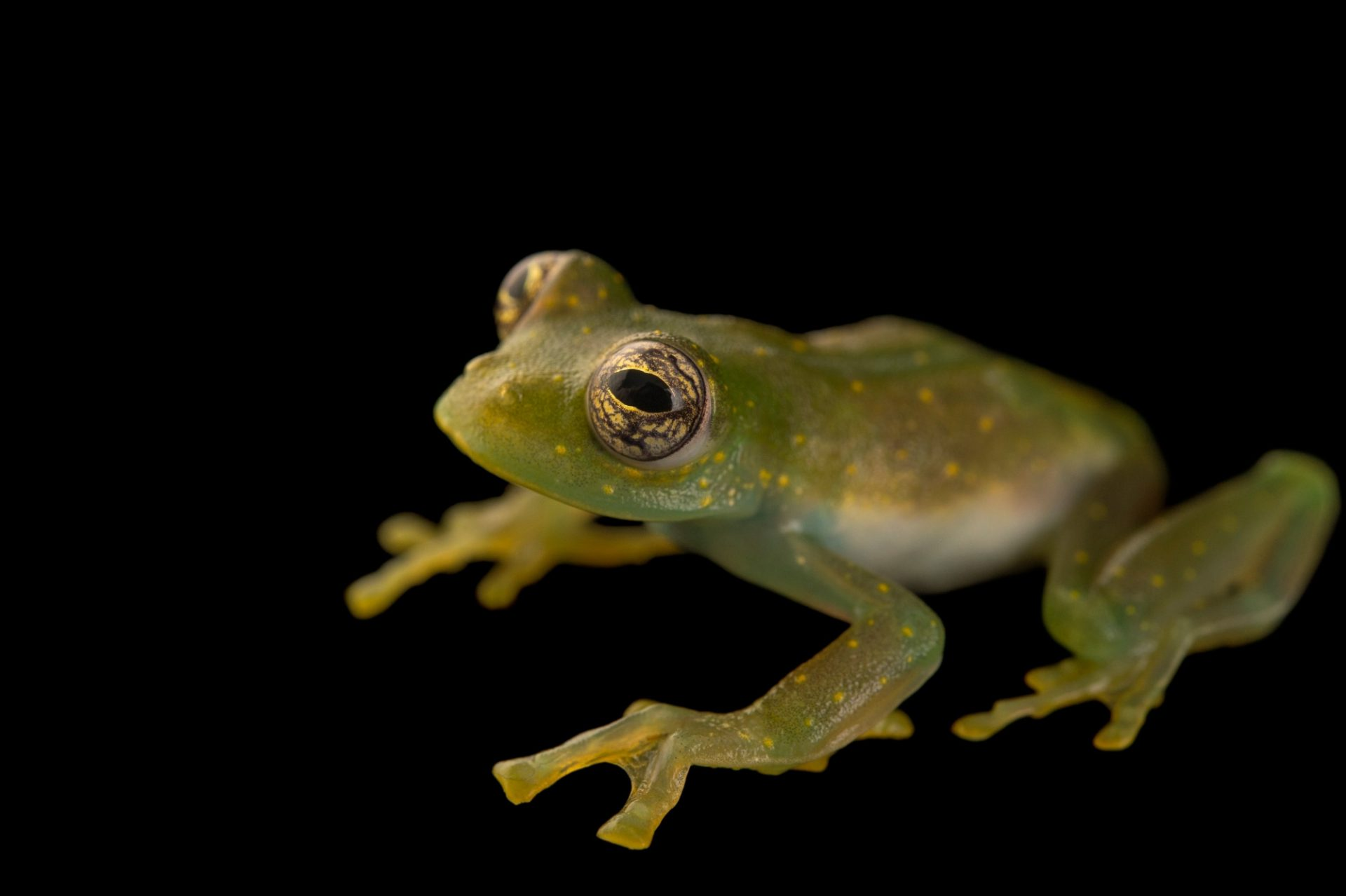 Photo: Yellow-spotted glass frog (Sachatamia albomaculata) at the El Valle Amphibian Conservation Center (EVACC).