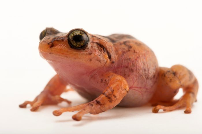Photo: La Hotte bush frog (Eleutherodactylus bakeri) at the Philadelphia Zoo. This species is found in Haiti and is critically endangered.
