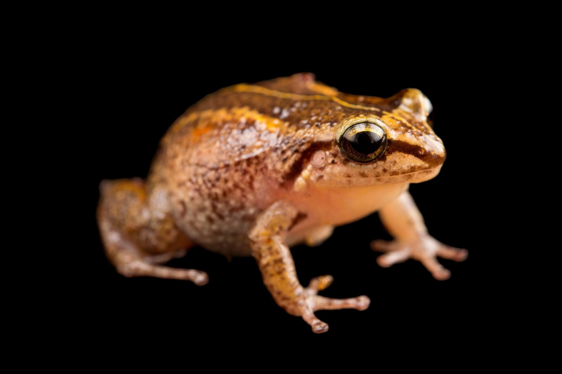 Photo: Mozart's frog (Eleutherodactylus Amadeus) at the Philadelphia Zoo. This species is found in Haiti and is critically endangered.