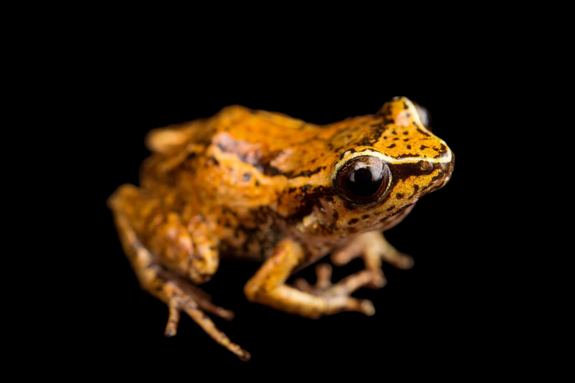 Photo: Macaya breast-spot frog (Eleutherodactylus thorectes) at the Philadelphia Zoo. This species is found in Haiti and is critically endangered.