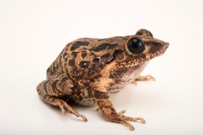 Photo: Tiburon burrowing frog (Eleutherodactylus aporostegus) at the Philadelphia Zoo. This species is found in Haiti and is critically endangered.