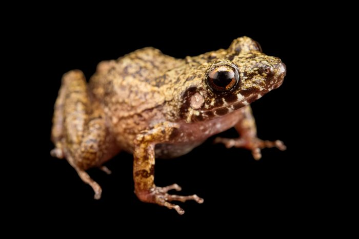 Photo: La Selle red-legged frog (Eleutherodactylus furcyensis) at the Philadelphia Zoo. This species is found in Haiti and is critically endangered.