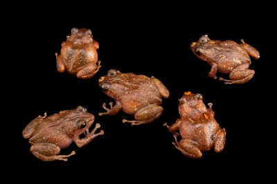 Photo: La Hotte bush frogs (Eleutherodactylus bakeri) at the Philadelphia Zoo.This species is found in Haiti and is critically endangered.