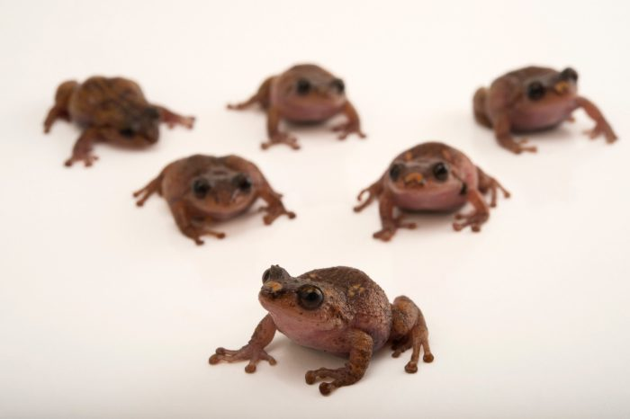 Photo: La Hotte bush frogs (Eleutherodactylus bakeri) at the Philadelphia Zoo. This species is found in Haiti and is critically endangered.