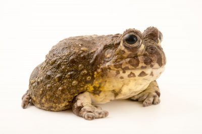 Photo: Edible bullfrog (Pyxicephalus edulis) at the San Antonio Zoo