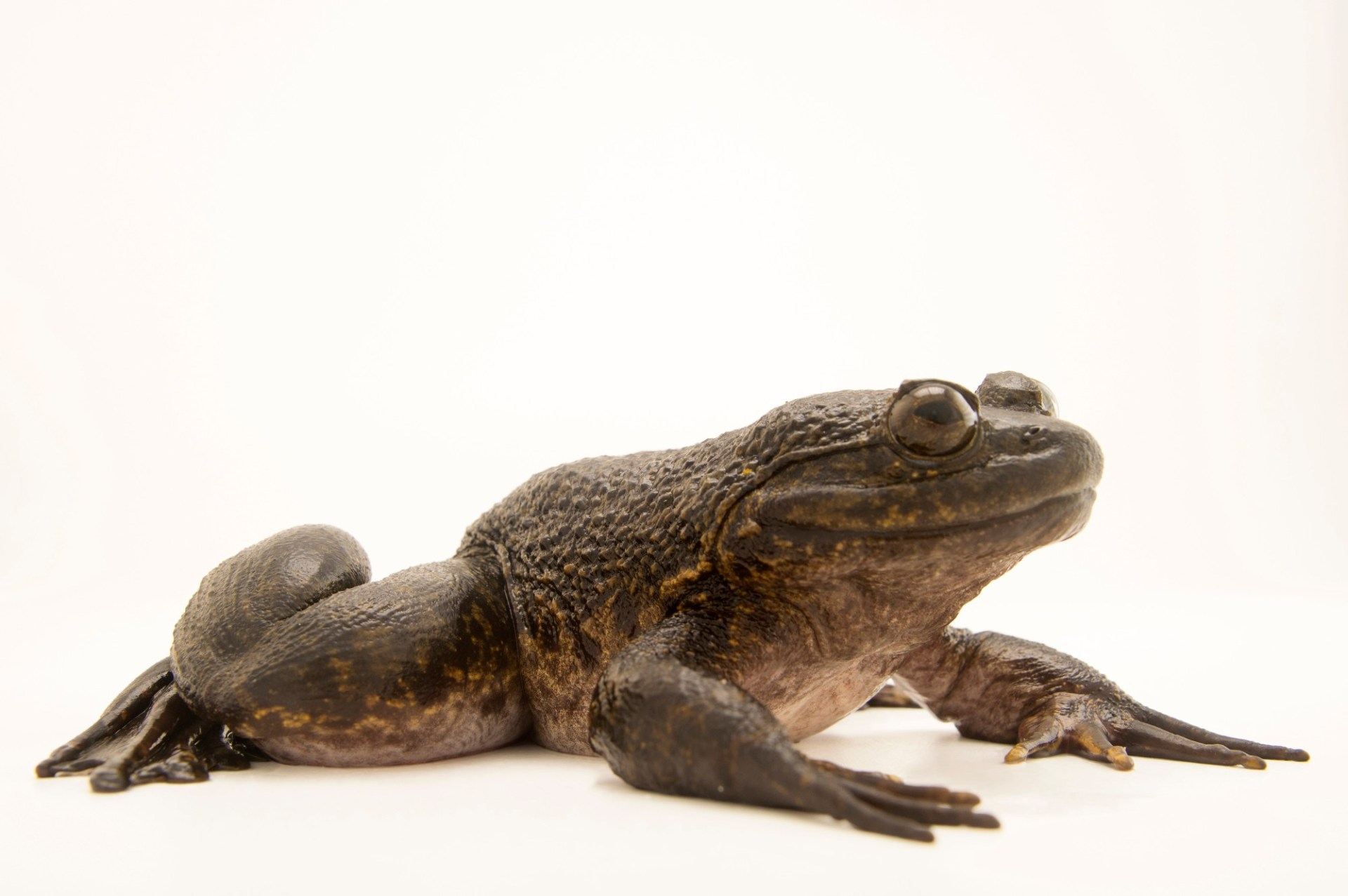 Photo: Giant slippery frog (Conraua robusta) collected near Manjo, Cameroon.