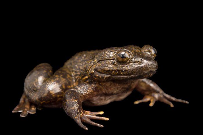 Photo: Giant slippery frog (Conraua robusta) collected near Manjo, Cameroon.