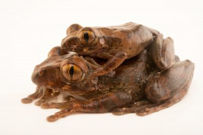 Photo: A mating pair of red tree frogs (Leptopelis rufus) collected near Manjo, Cameroon.