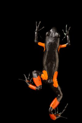 Photo: An endangered Cowan's mantella, Mantella cowanii, at Tsimbazaza Zoo.