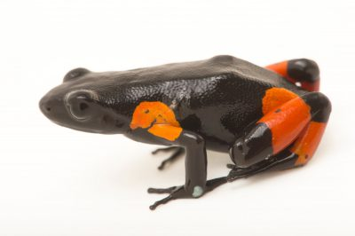 Photo: A Cowan's mantella, Mantella cowanii, at Tsimbazaza Zoo.