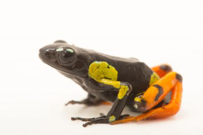 Photo: A Mantella metisy at Tsimbazaza Zoo.
