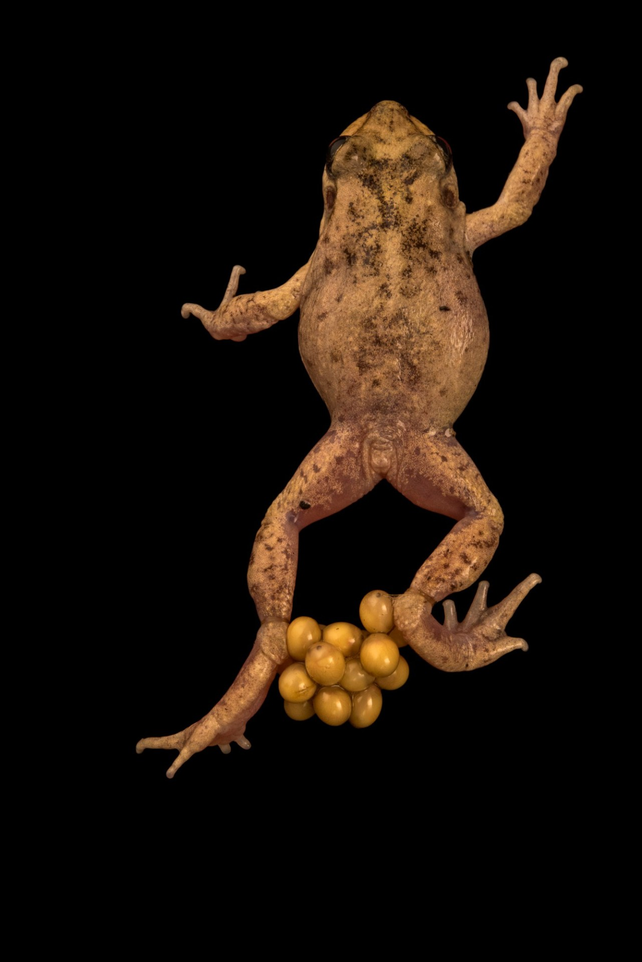 Photo: Majorcan or Mallorcan midwife toad (Alytes muletensis) carrying eggs on back legs at the London Zoo.
