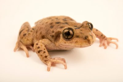 Photo: Majorcan or Mallorcan midwife toad (Alytes muletensis) at the London Zoo.