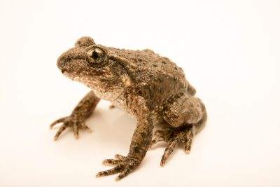 Photo: Common midwife toad (Alytes obstetricans) at the London Zoo.