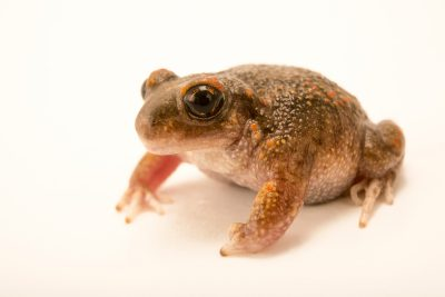 Photo: Iberian midwife toad (Alytes cisternasii) at the London Zoo.