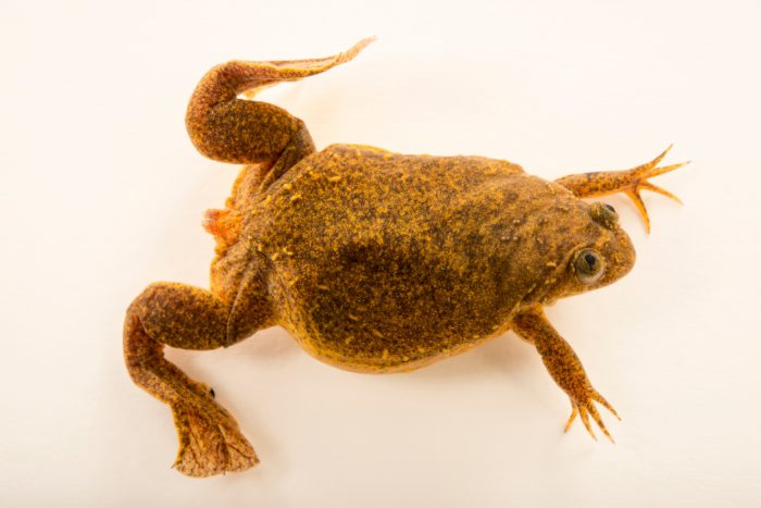 Photo: A critically endangered Lake Oku clawed frog (Xenopus longipes) at the London Zoo.