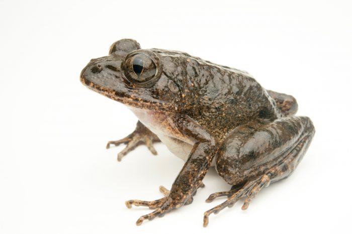 Photo: Gaboon forest frog (Scotobleps gabonicus) near Manjo, Cameroon.