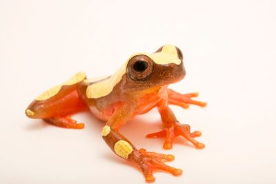 Photo: Clown treefrog (Dendropsophus leucophyllatus) at the Nashville Zoo.