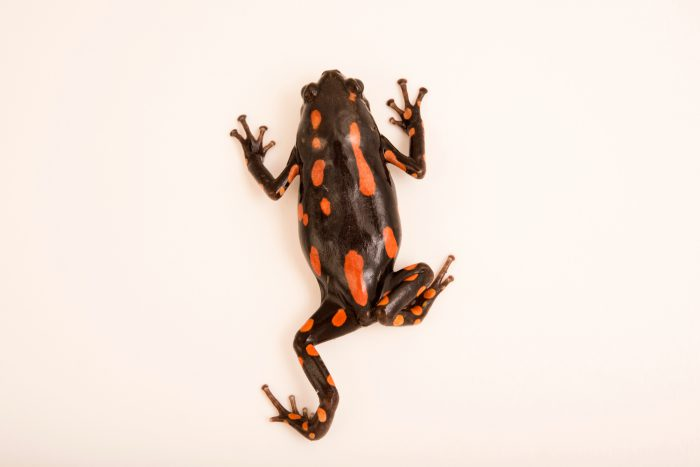 Photo: Banded rubber frog (Phrynomantis bifasciatus) from a private collection.