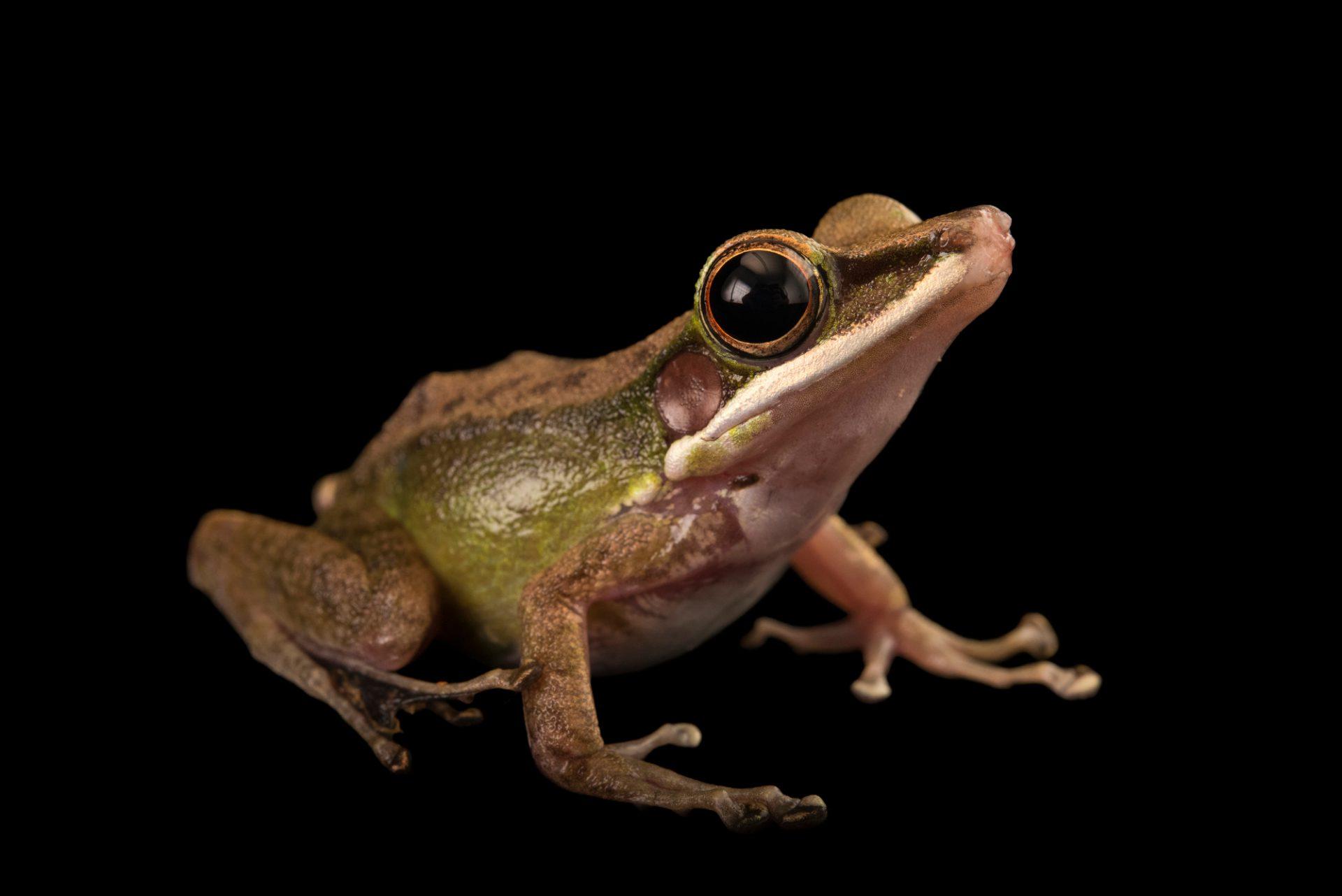 Photo: Poisonous Hose's frogs (Odorrana hosii) at the Singapore Zoo.