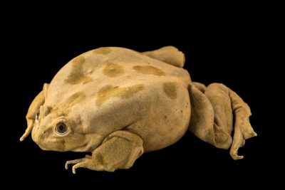 Photo: A critically endangered adult Lake Titicaca frog (Telmatobius culeus) at Denver Zoo.
