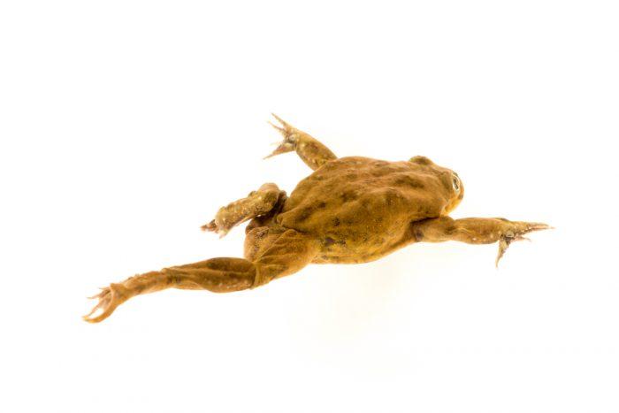Photo: A critically endangered juvenile Lake Titicaca frog (Telmatobius culeus) at Denver Zoo.