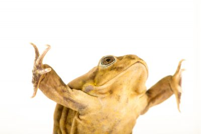Photo: A critically endangered adult Lake Titicaca frog (Telmatobius culeus) at Denver Zoo.